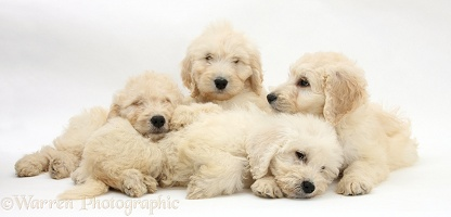 Four sleepy Labradoodle pups, 9 weeks old