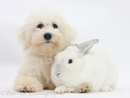 Bichon Frise and white rabbit