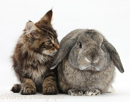 Maine Coon kitten with a rabbit