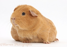 Pregnant red guinea pig with very large belly