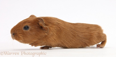 Baby red Guinea pig