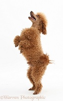 Red Toy Poodle standing up on hind legs
