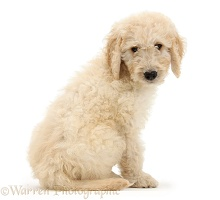 Labradoodle pup, 9 weeks old, looking over its shoulder