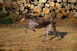 German Pointer bitch running