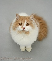 Fluffy ginger-and-white cat
