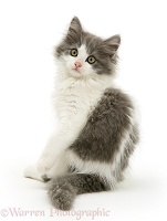 Grey-and-white kitten turning to look over its shoulder