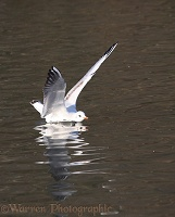 Black-headed Gull landing on water