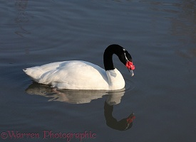 Black-necked Swan