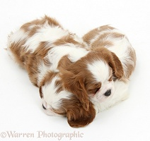 Sleepy Blenheim Cavalier King Charles Spaniel pups