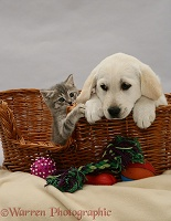 Labrador pup and tabby kitten