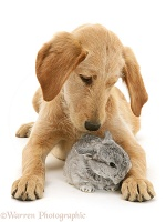 Labradoodle pup and baby silver agouti rabbit