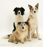 Border Collies and Terrier-cross