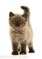 Chocolate Birman-cross kitten
