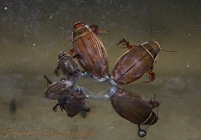 Dytiscus water beetles under ice