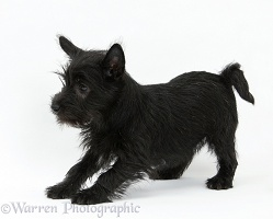 Playful black Terrier-cross puppy