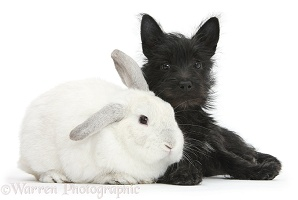 Black Terrier-cross puppy with white rabbit