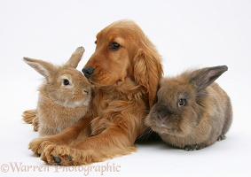 Red English Cocker Spaniel with two rabbits