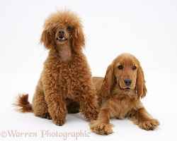 English Cocker Spaniel with red toy Poodle