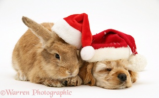 Sleepy Spaniel pup and rabbit wearing Santa hats