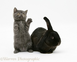 Black rabbit and grey kitten