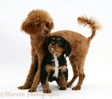 Red Toy Poodle with Cavalier King Charles pup