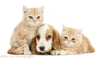 Orange roan Cocker Spaniel pup with ginger kittens