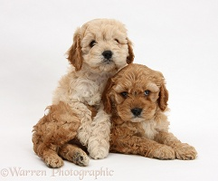 Golden Cockapoo pups