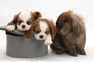 Rabbit with King Charles Spaniel pups in a top hat
