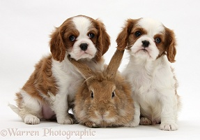 Cavalier King Charles Spaniel pups and rabbit