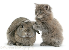 Maine Coon kitten, 7 weeks old, with agouti Lop rabbit