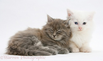 Sleepy Maine Coon kittens, 7 weeks old