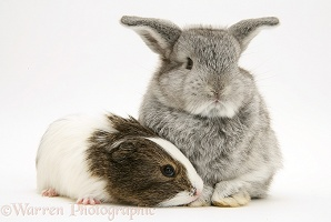 Baby silver Lop rabbit with agouti-and-white Guinea pig