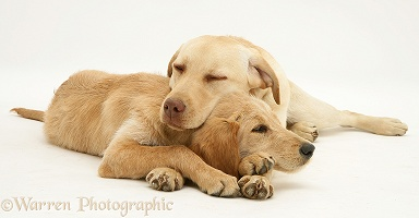 Yellow Labrador and Labradoodle