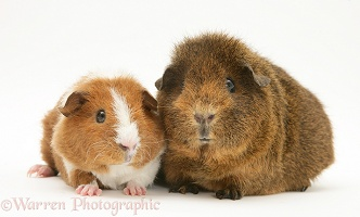 Female red agouti Guinea pig with baby