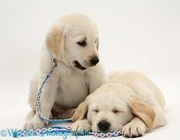 Sleepy Yellow Goldador Retriever pups