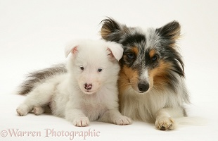 Sheltie and white pup