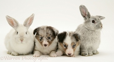 Sheltie pups with rabbits
