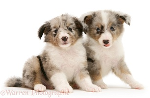 Two Sheltie puppies