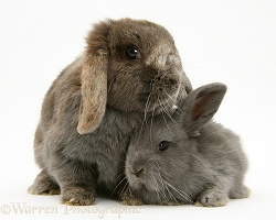 Grey mother and baby Lop Rabbits
