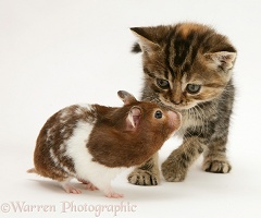 Tabby Kitten and hamster