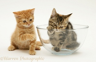 Ginger kitten with tabby kitten in a glass bowl