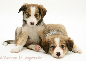 Sable Border Collie pups