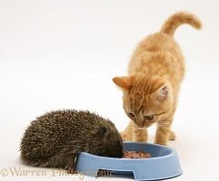 Hedgehog eating from ginger kitten's food bowl