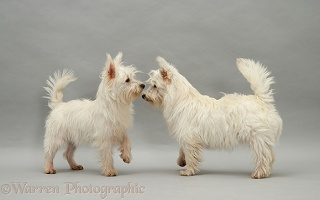 Westie pups, nose to nose