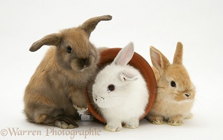 Three baby rabbits and flowerpot