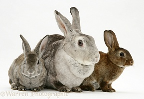Rex rabbit Mother and two young rabbits