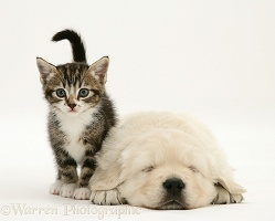 Tabby kitten and sleeping Golden Retriever pup