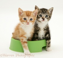 Tabby and red tabby kittens in a food bowl