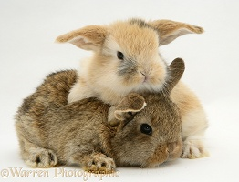Baby sandy and agouti Lop rabbits