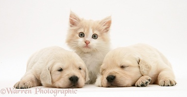 Sleepy Labrador pups and kitten